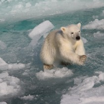Give Some Thought To The Polar Bear