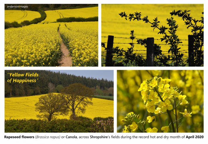Yellow Fields of Happiness